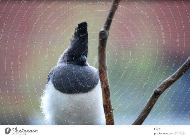 Voggl Tier Vogel Feder Zweig Wachsamkeit Stolz gefiedert Tierpräparat Vor hellem Hintergrund