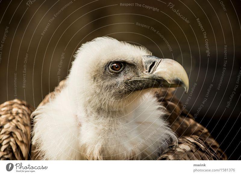 Portrait Gänsegeier Tier Wildtier Vogel Tiergesicht Zoo 1 beobachten Denken Fressen Jagd Blick träumen warten Aggression ästhetisch sportlich authentisch