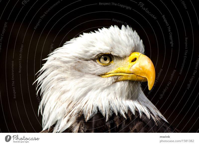 Weißkopf Seeadler Wildtier Vogel Zoo 1 Tier Blick Aggression ästhetisch außergewöhnlich Coolness wild Zufriedenheit Tapferkeit Erfolg schön geduldig Abenteuer