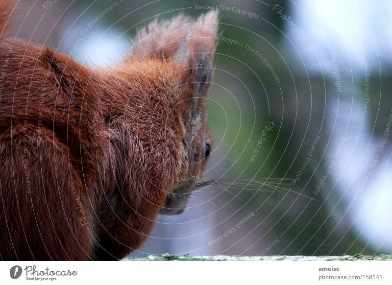 Squirrel … unser kleiner Freund Eichhörnchen Nagetiere Nachbar braun Fell Tier Besucher Walnuss Haselnuss niedlich Natur Säugetier Entertainment
