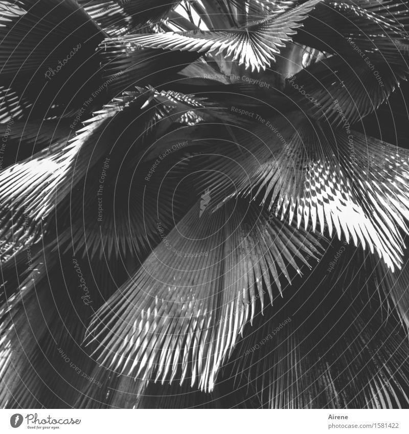 Fächersammlung Pflanze Baum Blatt exotisch Palme Palmenwedel Strahlenpalme Fächerpalme grau gefiedert strahlenförmig Schwarzweißfoto Außenaufnahme Muster