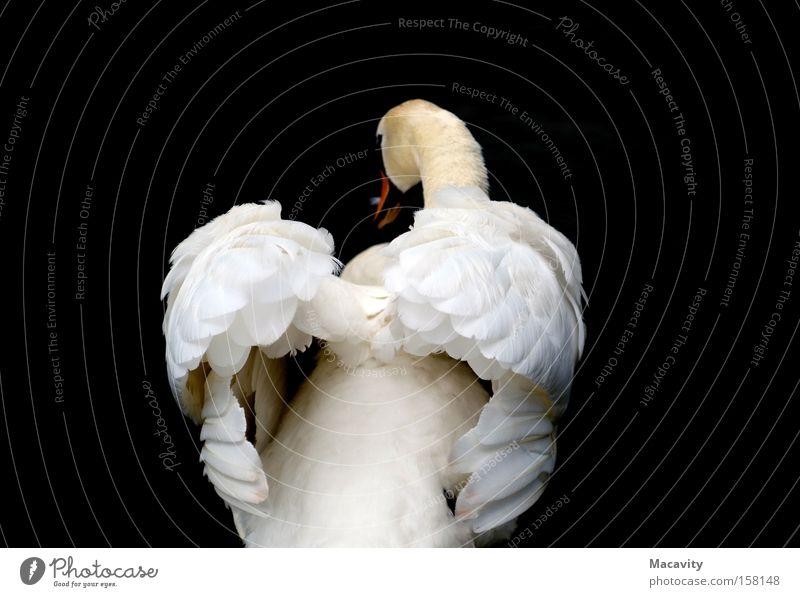 Schwan #214 Natur Wasser schön Tier See Vogel elegant Trauer Schwarzweißfoto Flügel rein Verzweiflung Seeufer Ekel Teich