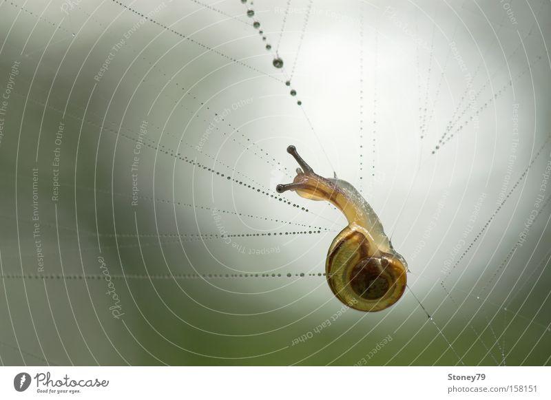 Schnecke im Spinnennetz Natur grün Tier Einsamkeit gelb nass Wassertropfen gefährlich bedrohlich Netz gefangen 1 Schwäche filigran