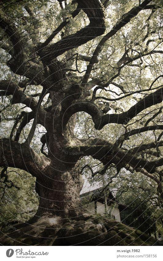 Mächtig alt Baum Macht groß Natur Japan Kyoto Blatt Baumstamm Ast Hügel üppig (Wuchs)