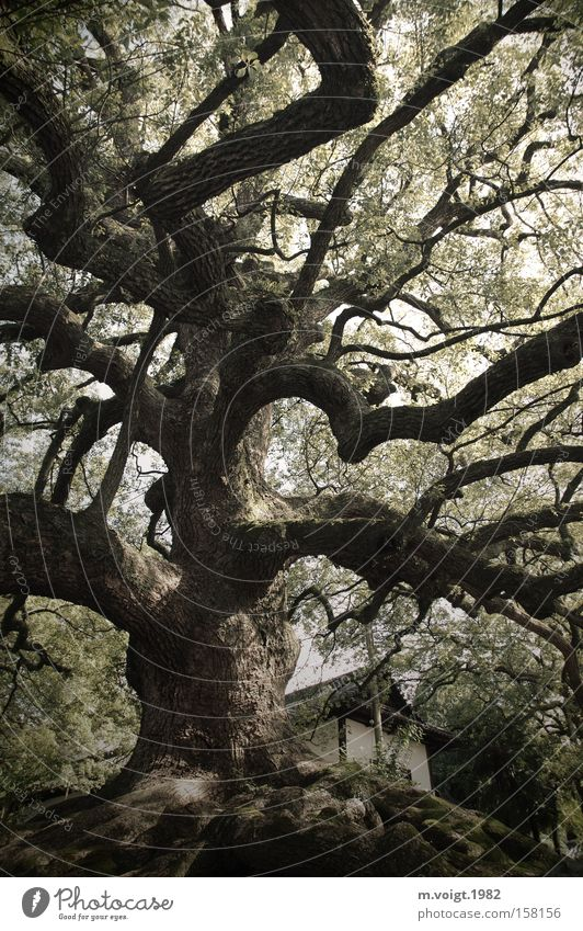 Mächtig alt Natur alt Baum Blatt groß Macht Ast Hügel Asien Japan Baumstamm üppig (Wuchs) Kyoto