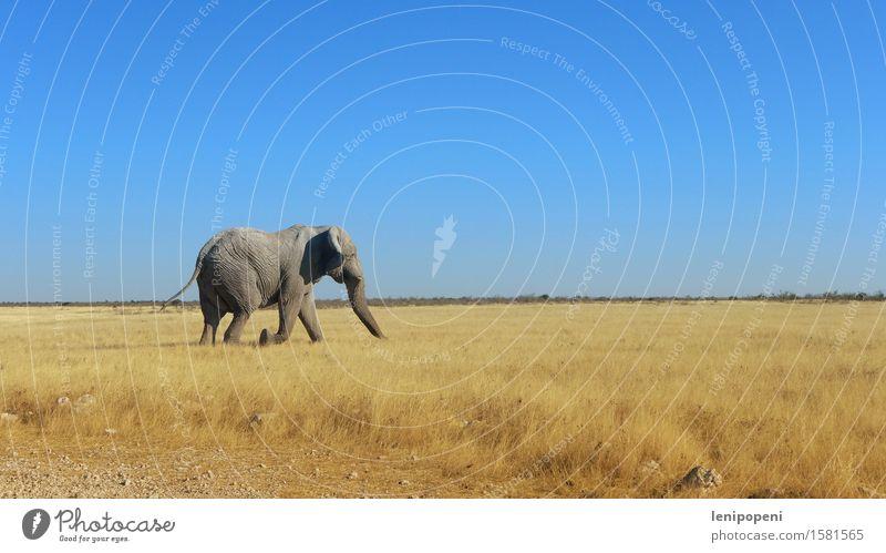 Dicke Haut mit Köpfchen Natur Landschaft Himmel Wolkenloser Himmel Sonne Sommer Schönes Wetter Gras Sträucher Wüste Etoscha-Pfanne Namibia Tier Wildtier Elefant