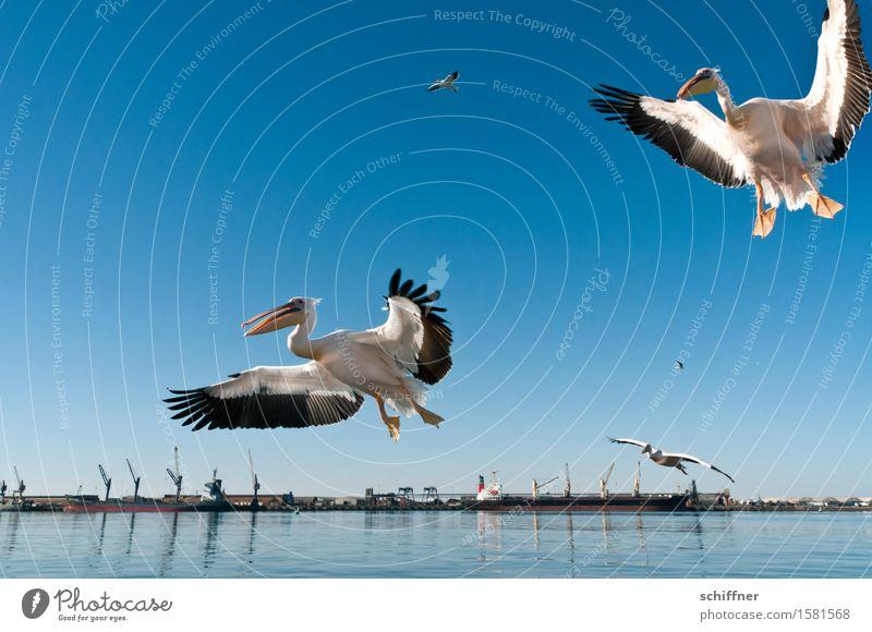 """""""Kumma, Gunhilde, da vorne gibt's Fingerfood!"""" Küste Meer Tier Vogel 2 Tiergruppe Herde Tierpaar fliegen Hafen Kran Pelikan Vogelflug Landen flattern"""