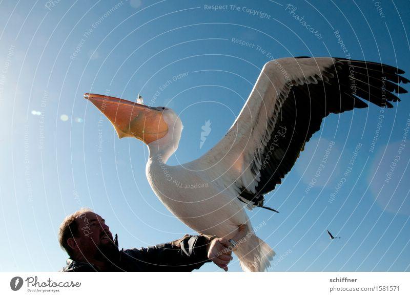 All you can feed Mensch maskulin Mann Erwachsene Kopf Arme 1 Tier Wildtier Vogel füttern blau Gier Appetit & Hunger Fressen Pelikan Flügel Speiseröhre wickeln