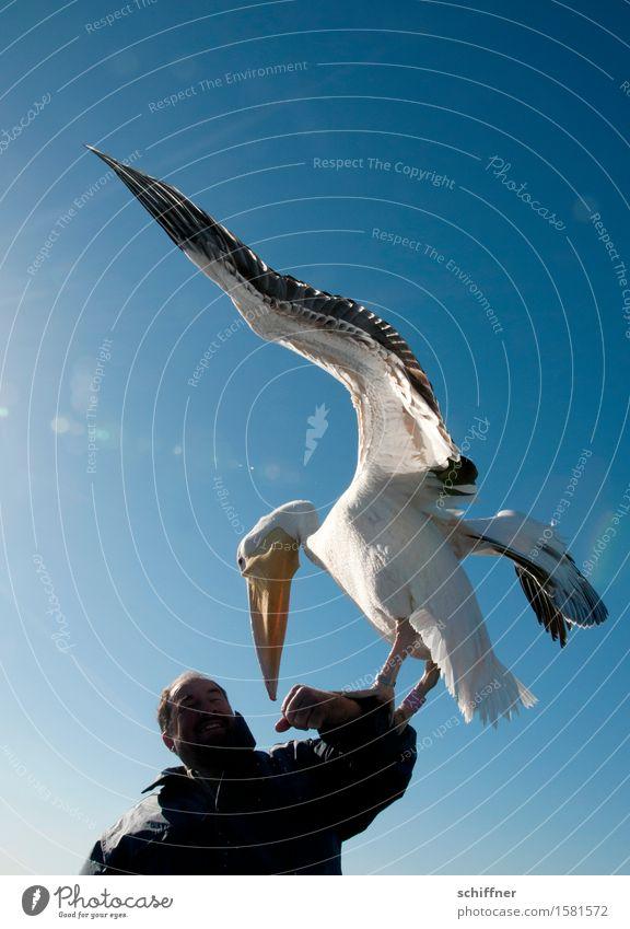 Schau mir in die Augen, Kleiner Mensch maskulin Mann Erwachsene Arme 1 Tier Vogel füttern blau Pelikan Schnabel Flügel schwer Namibia Walvisbay Vogelperspektive