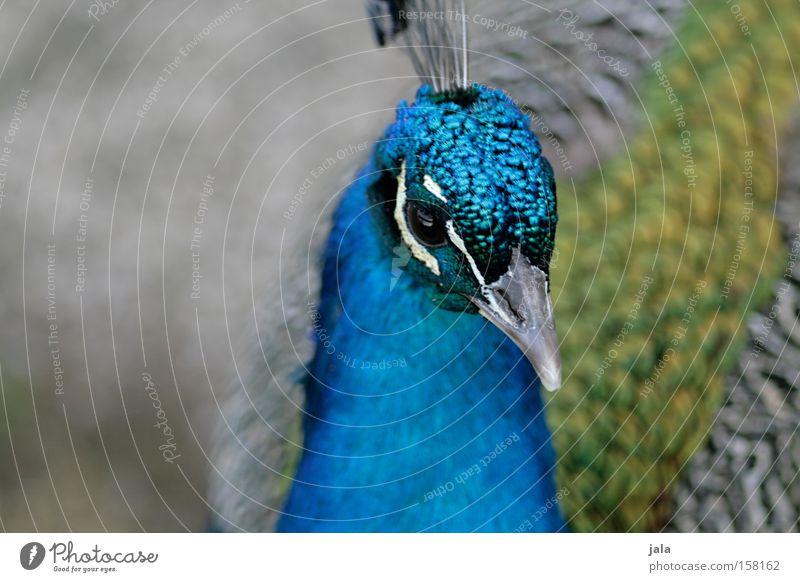 pavo cristatus IV schön blau Auge Tier Kopf Park Vogel ästhetisch Feder Schnabel Stolz Pfau