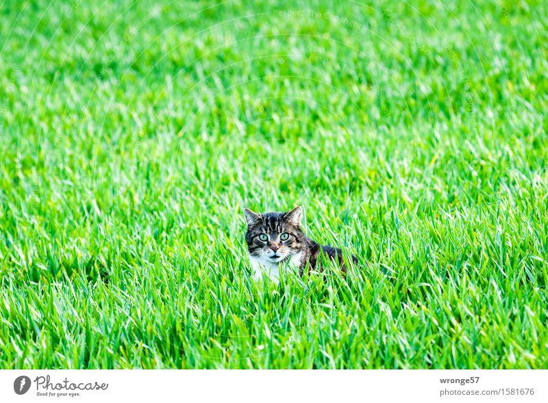 Ausflug ins Grüne Katze Pflanze grün weiß Tier Frühling natürlich braun liegen Feld beobachten entdecken Wachsamkeit Jagd Haustier Hauskatze