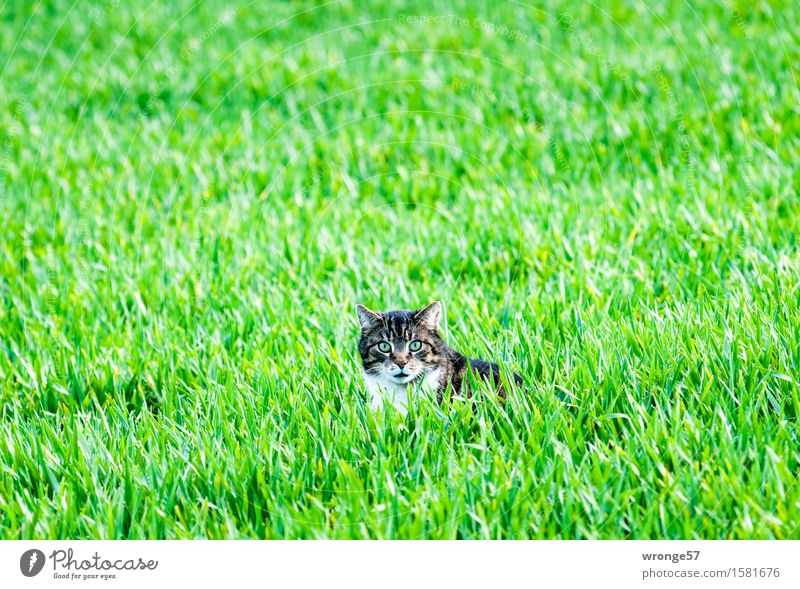 Ausflug ins Grüne Pflanze Tier Frühling Feld Haustier Katze 1 beobachten Jagd liegen natürlich braun grün weiß achtsam Wachsamkeit Hauskatze Katzenkopf