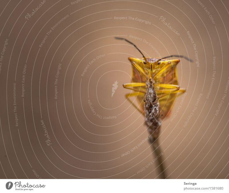 Bunte Blattwanze (Elasmostethus interstinctus) Natur Pflanze Tier Blüte Wiese Wald Wildtier Käfer Tiergesicht 1 festhalten Baumwanze Wanze Insekt Farbfoto