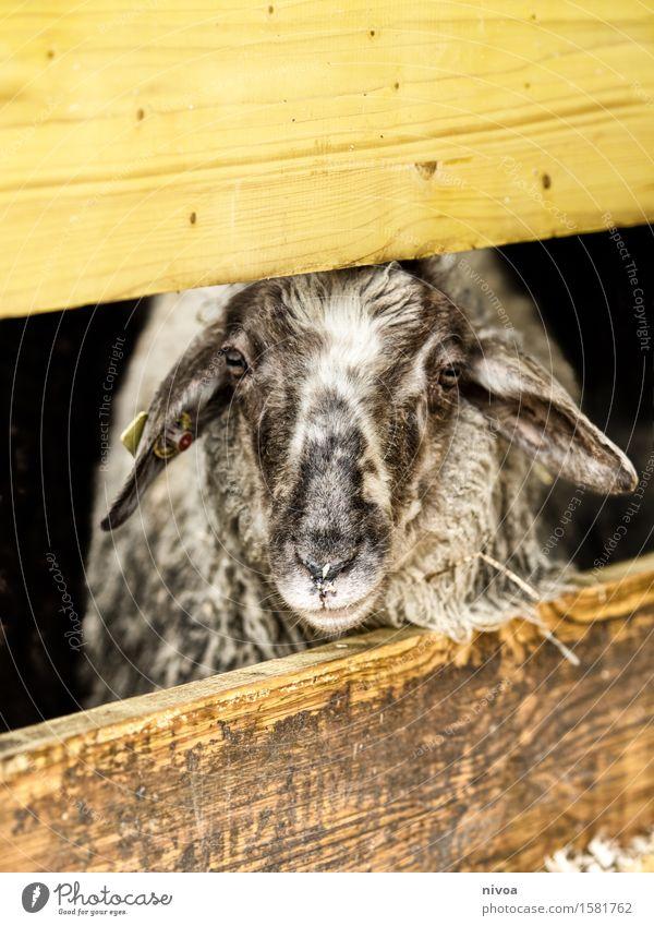 Gerahmter Schafskopf Lebensmittel Fleisch Ernährung Ferien & Urlaub & Reisen Ausflug Sommer Landwirtschaft Forstwirtschaft Umwelt Natur Frühling Scheune Zaun