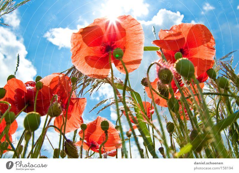 mal wieder in der Sonne liegen Himmel blau rot Sommer Wiese Blüte Perspektive Mohn Himmelskörper & Weltall Klatschmohn