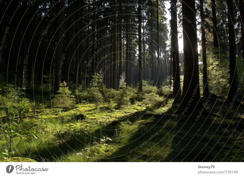 Morgenlicht ruhig Natur Landschaft Pflanze Sonnenlicht Frühling Sommer Schönes Wetter Baum Wald Freundlichkeit grün friedlich Frieden Nadelwald Nadelbaum