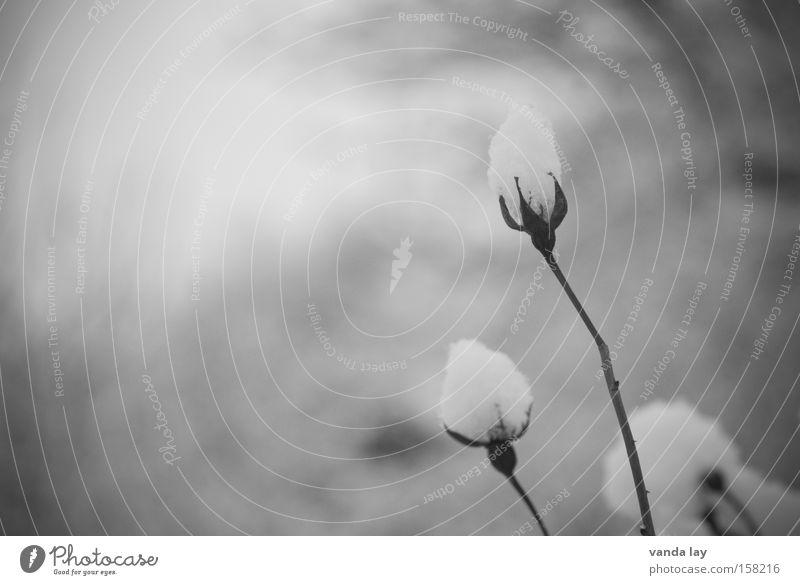 Schneeknospe Rose Blüte Blütenknospen Romantik Schwarzweißfoto Blume Pflanze Dorn Stimmung Trauer verblüht Winter Eis kalt Natur kondolenz Tod