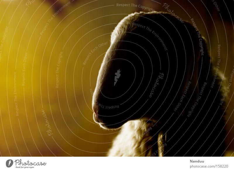 Honigschaf Ostern Schaf Wärme Stall Landwirtschaft Fell Wolle Tier Nutztier ruhig gelb Licht Säugetier honigfarben