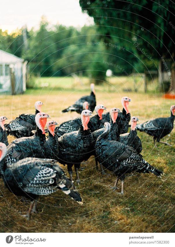 Bronze Truthähne Nutztier Vogel Tiergruppe nachhaltig Truthahn Vögel Bauernhof Erntedankfest Menschengruppe Gehöft Geflügel Farbfoto Außenaufnahme Menschenleer