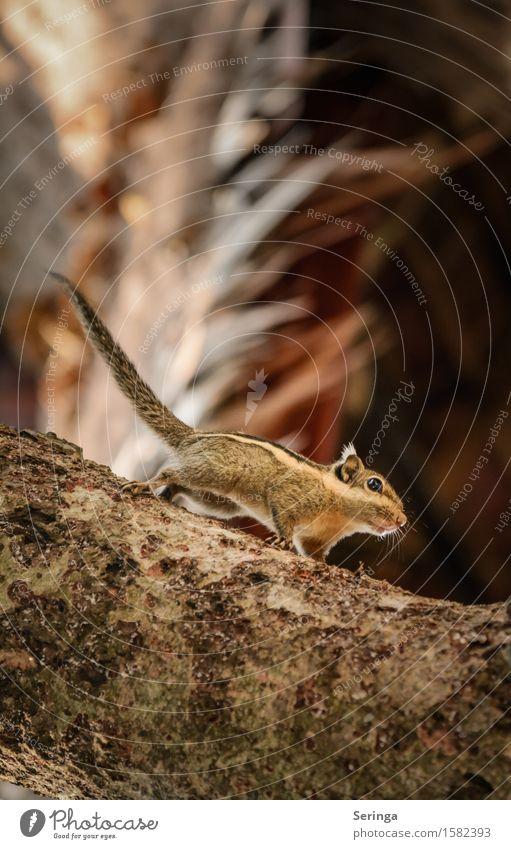 Streifenhörnchen Natur Landschaft Pflanze Tier Baum Wald Urwald Wildtier Tiergesicht 1 beobachten Bewegung Fressen Farbfoto mehrfarbig Außenaufnahme Nahaufnahme