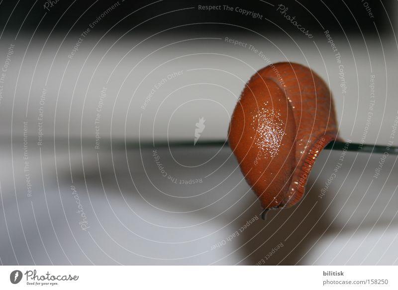 Schleimer! Schnecke Nacktschnecken braun rot schleimig Fühler Unschärfe krabbeln Ecke Am Rand Risiko langsam berühren Zwitter Tier Makroaufnahme Nahaufnahme