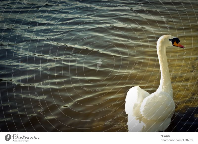 eleganz Schwan weiß Feder Wasser See ruhig schön ästhetisch Hals Einsamkeit elegant zart Teich Vogel lecker Im Wasser treiben Schwimmen & Baden