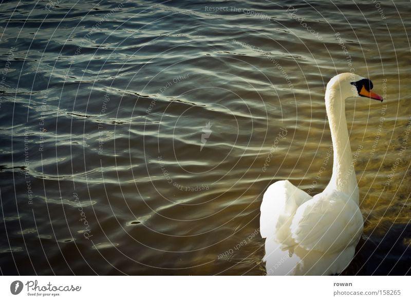 eleganz Wasser schön weiß ruhig Einsamkeit See Vogel elegant ästhetisch Feder zart lecker Hals Teich Schwan