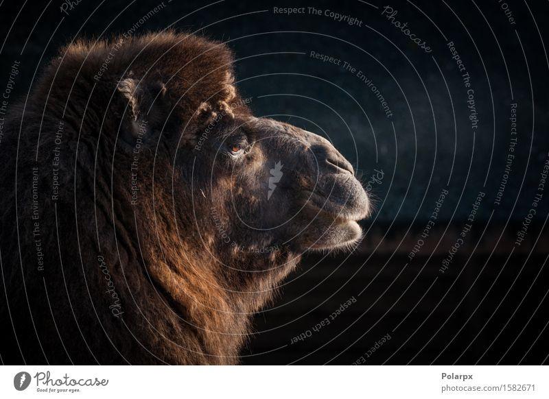 Nahaufnahme eines Kamelkopfes Haut Gesicht Safari Zoo Natur Tier Verkehr Pelzmantel Behaarung dunkel natürlich wild braun Tradition Kamelus Bactrianus Camel
