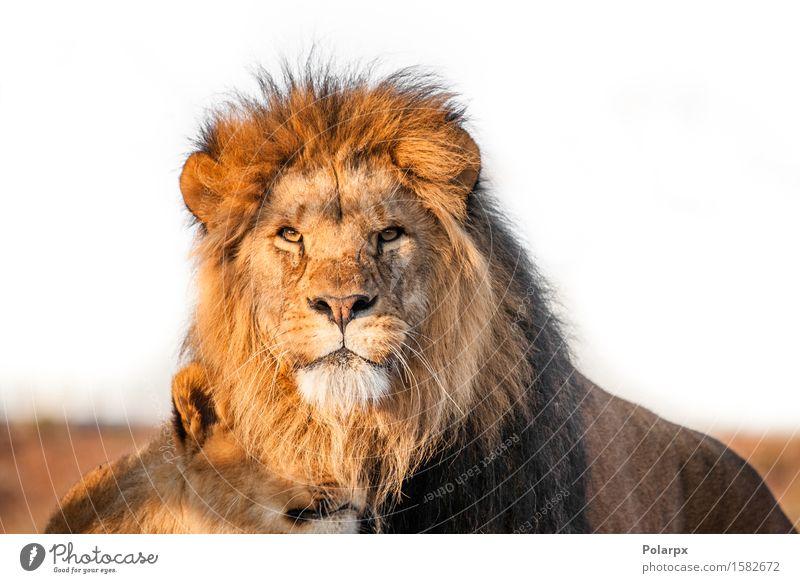 Zwei Löwen togenther in der Savanne Spielen Ferien & Urlaub & Reisen Tourismus Safari Sonne Frau Erwachsene Mann Buch Natur Park Pelzmantel Katze Zusammensein
