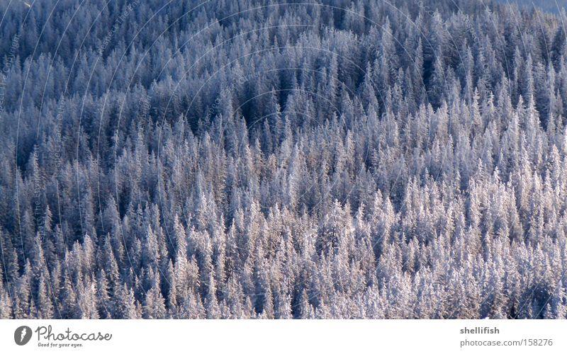 Winterwald Wald Schnee weiß blau Nadelbaum Baum Freiheit Klarheit kalt Klima Höhe oben Eis Berge u. Gebirge Natur ökologisch