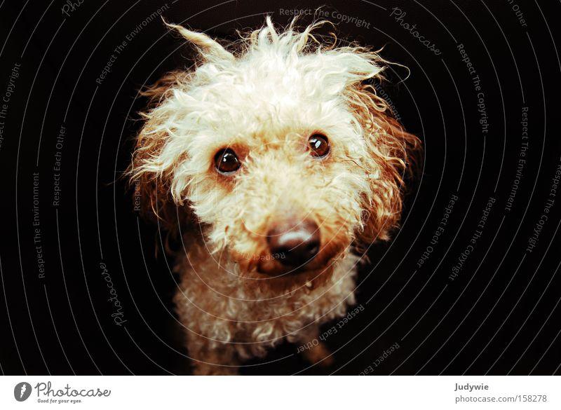 Der traurigste Hund der Welt. Trauer Locken Tier Nase weinen Angst klein Auge süß Säugetier Panik Verzweiflung Pudel Traurigkeit Mitgefühl