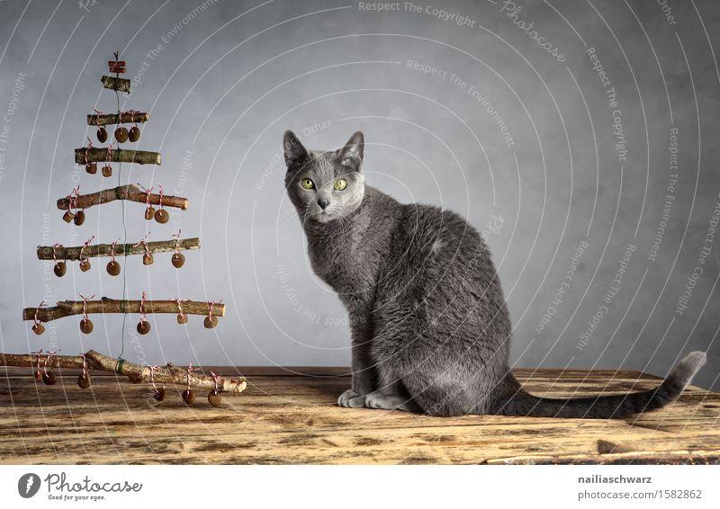 Katzenweihnacht Haustier 1 Tier Holz beobachten hocken Blick sitzen elegant lecker lustig Neugier niedlich weich blau grau Zufriedenheit Tierliebe Hauskatze