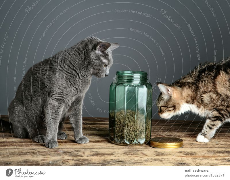 Katzenfutter Haustier 2 Tier Fressen Neugier blau grau Hauskatze portrait russisch blau frontal Werkstatt katzenportrait katzenbild rassekatze Farbfoto