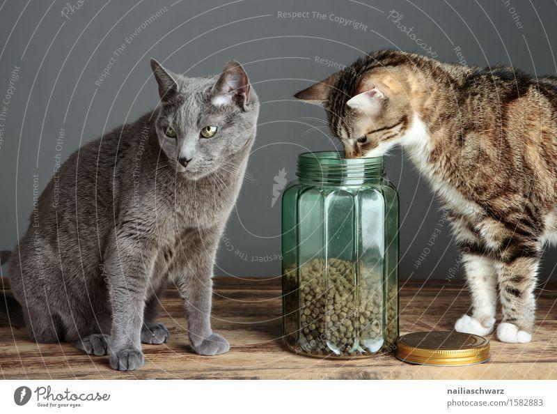 Katzenfutter blau Tier grau Neugier Haustier Werkstatt Hauskatze frontal
