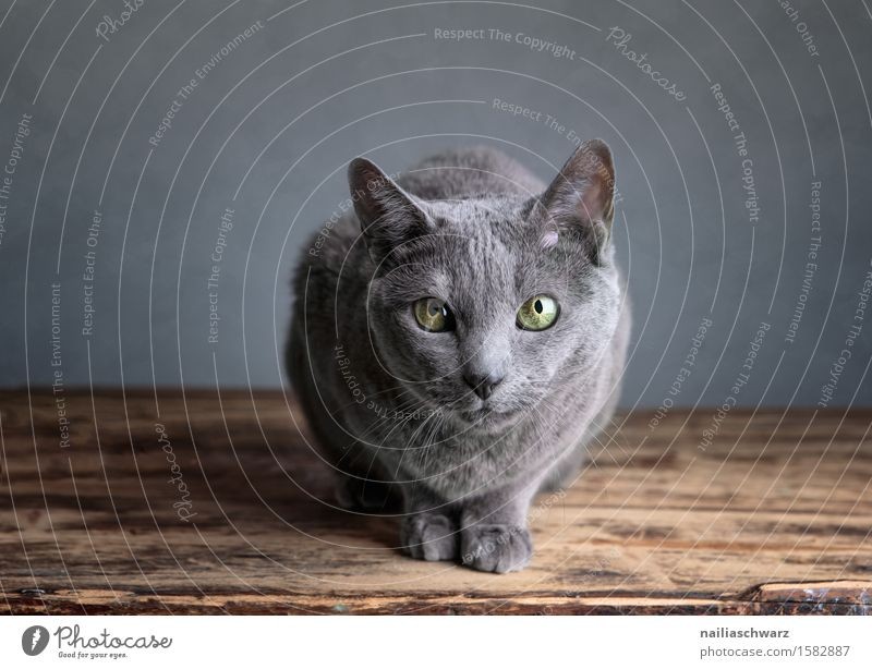 Katzenportrait blau schön Erholung Tier natürlich grau niedlich weich Freundlichkeit Neugier Gelassenheit Haustier Werkstatt Langeweile Interesse