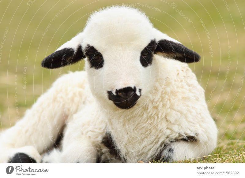 Nahaufnahme von niedlichen weißen Lamm schön Gesicht Baby Natur Landschaft Tier Frühling Gras Wiese Tierjunges klein natürlich grün unschuldig Bauernhof Feld