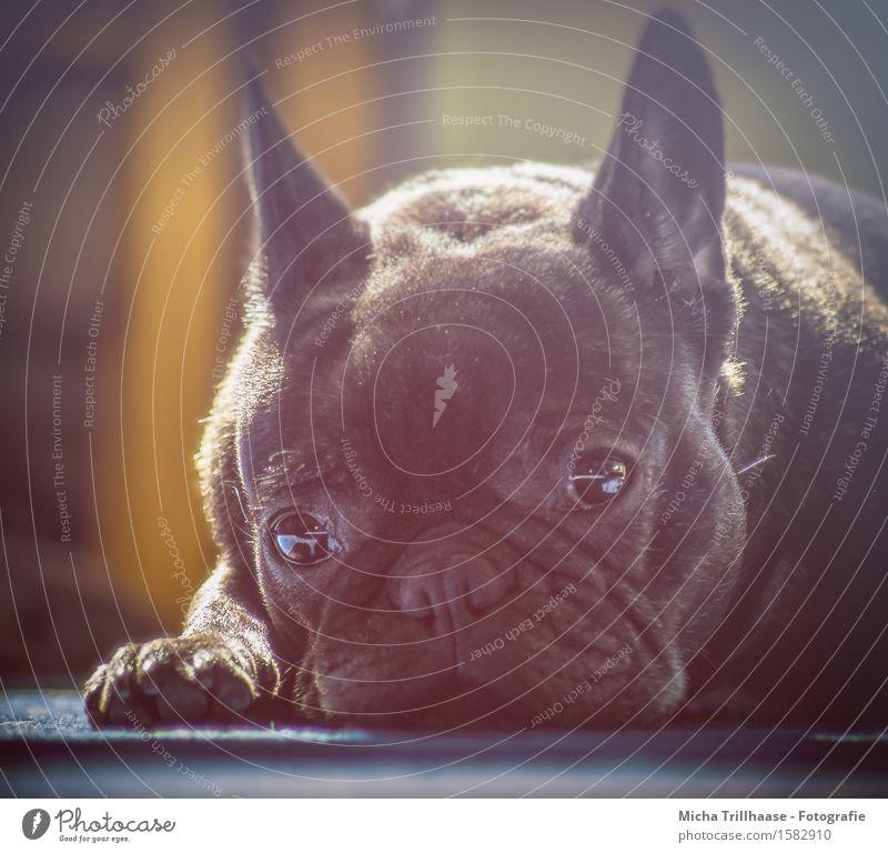 Ganz entspannt Zufriedenheit Erholung ruhig Sonne Sonnenbad Tier Sonnenlicht Haustier Hund Tiergesicht Fell Krallen Pfote 1 genießen liegen Blick träumen