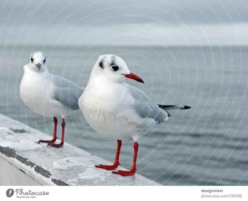 Och, komm schon … Meer Liebe Vogel nah Kontakt Möwe Ärger Intimität Tier beleidigt ärgerlich