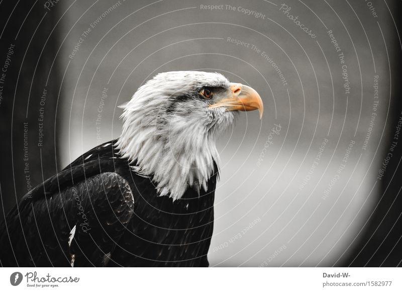 Weißkopfseeadler I Umwelt Natur Luft schlechtes Wetter Wald Berge u. Gebirge Gipfel Tier Wildtier Vogel Flügel 1 beobachten schön ruhig elegant Stolz Adler