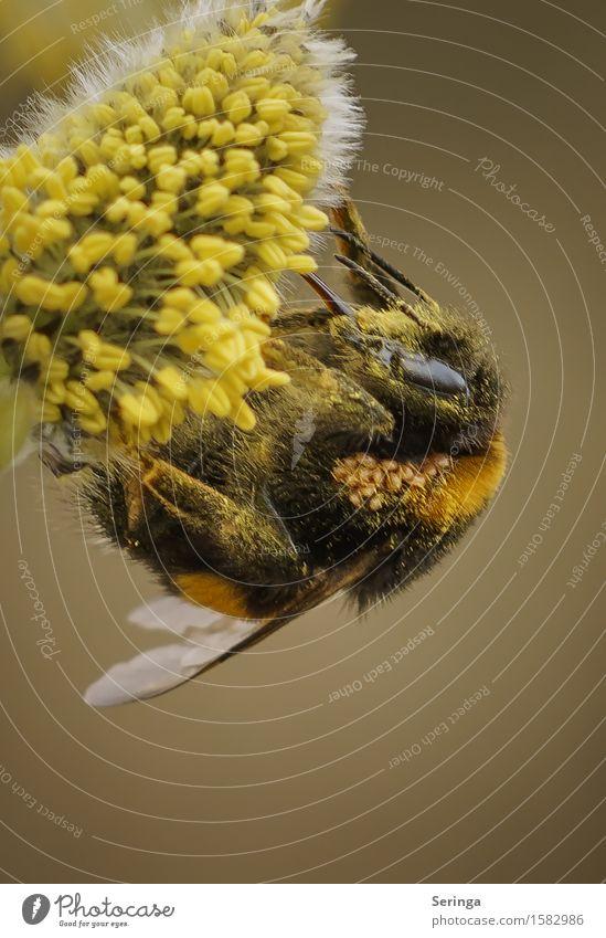 fleißige Hummel Natur Pflanze Tier Blume Blatt Blüte Wiese Wald Wildtier Fliege Biene Tiergesicht Flügel 1 fliegen Insekt Farbfoto mehrfarbig Außenaufnahme