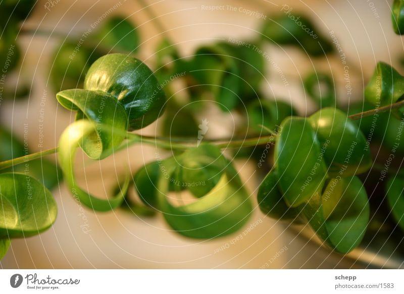 grünzeug Pflanze Zimmerpflanze Blatt Natur Makroaufnahme