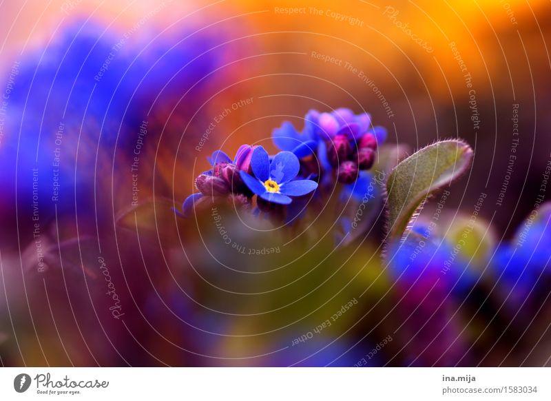 Frühling Umwelt Natur Sommer Pflanze Blume Blüte Wildpflanze Vergißmeinnicht Garten Blühend Duft Wachstum ästhetisch schön blau Stimmung Fröhlichkeit