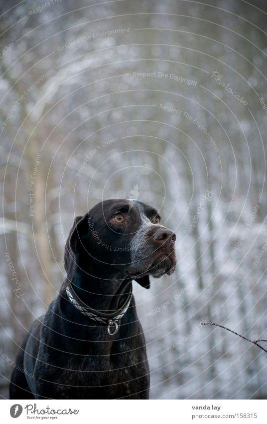 Begossener Pudel Winter Hund Tier Halsband Natur braun Jäger Jagdhund Nase Säugetier deutsch kurzhaar gassi Hundehalsband