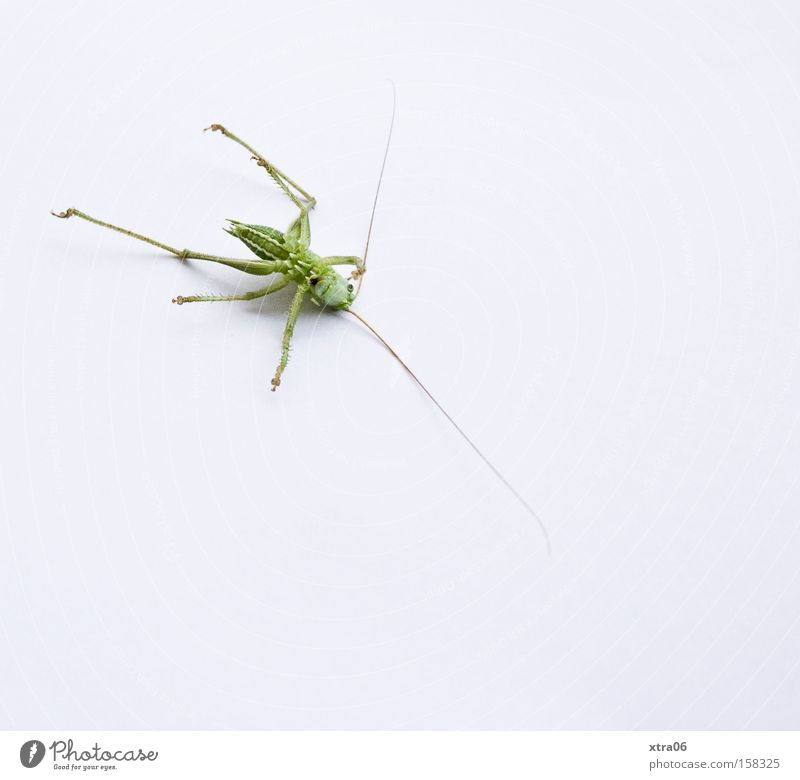 nicht aufgeben, der sommer kommt bestimmt... grün Tier Beine ästhetisch authentisch liegen Insekt Lebewesen Wildtier Heuschrecke Fühler Makroaufnahme resignieren Heimchen auf dem Rücken