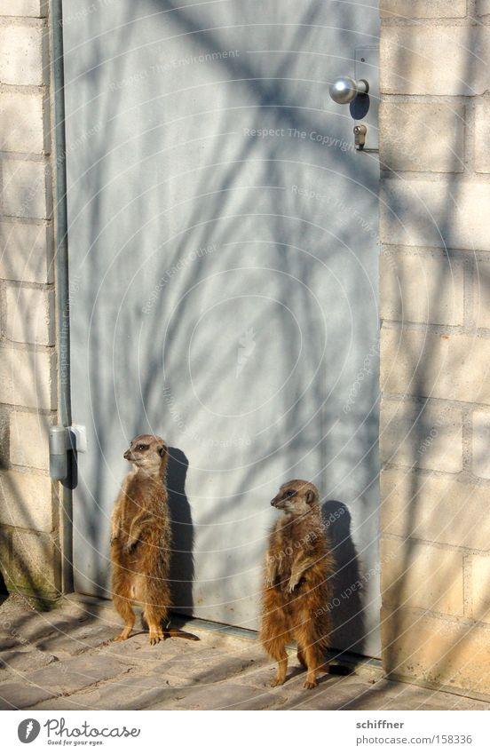 Du kummst hia ned rein! Türsteher Sicherheit Sicherheitsdienst Eingang geschlossen Erdmännchen Manguste Sonnenbad bewachen Freiburg im Breisgau Säugetier