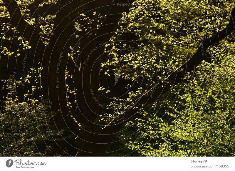 Frühlingslaub Natur grün Baum Pflanze Blatt ruhig Wald frisch leuchten Ast Schönes Wetter Baumstamm Baumkrone Geäst Zweige u. Äste