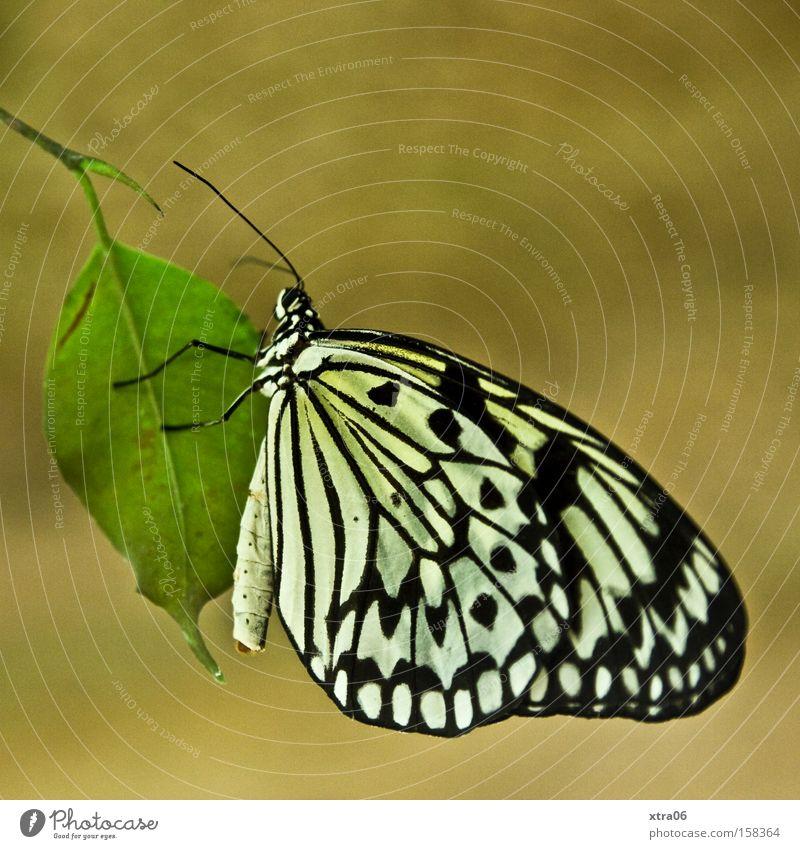 baumnymphe Blatt Flügel Insekt zart Schmetterling Schweben Fühler