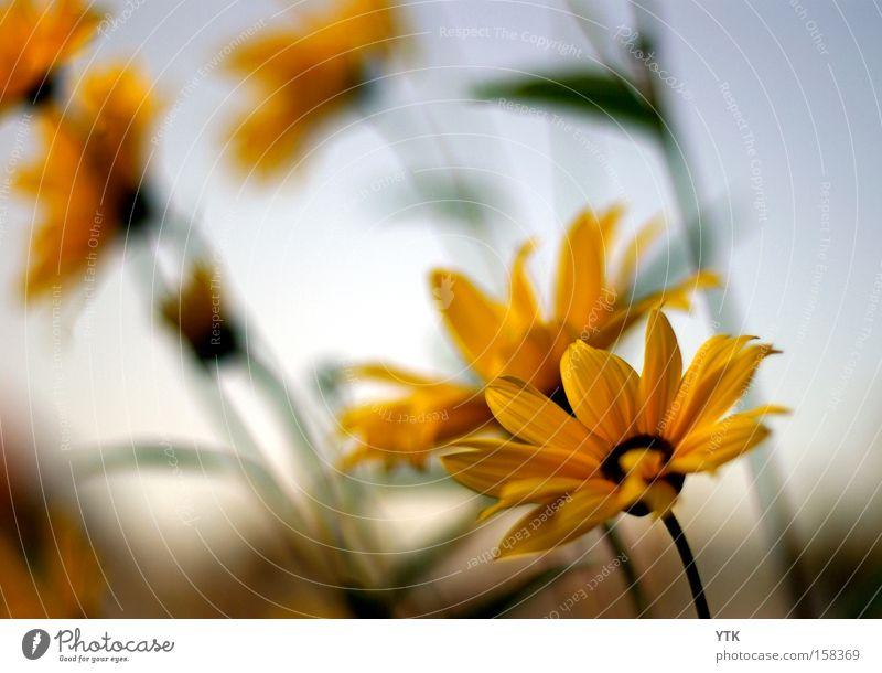 Summer's Dawn Natur schön Himmel Blume Pflanze Sommer gelb Leben Wiese Blüte Bewegung Wärme Stimmung braun Wetter Umwelt