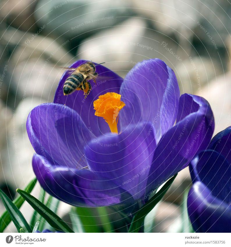 Krokus; Apis; mellifera Natur Frühling Blume Haustier Biene springen Anflug Krokusse Honigbiene Insekt Bestaeubung Pollen Staubfäden Imme Nektarsammler