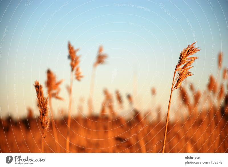 Halme frei im Winde Natur Himmel Herbst Gras Freiheit Landschaft braun Feld Schilfrohr Seeufer himmelblau Helsinki